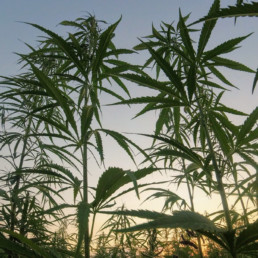 The-Marijuana-Opportunity